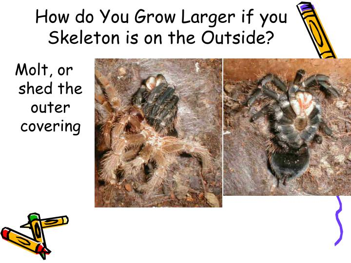 How do You Grow Larger if you Skeleton is on the Outside?