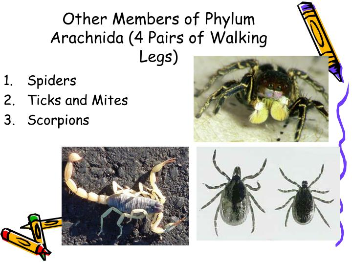 Other Members of Phylum Arachnida (4 Pairs of Walking Legs)