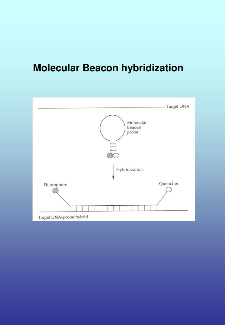 Molecular Beacon hybridization