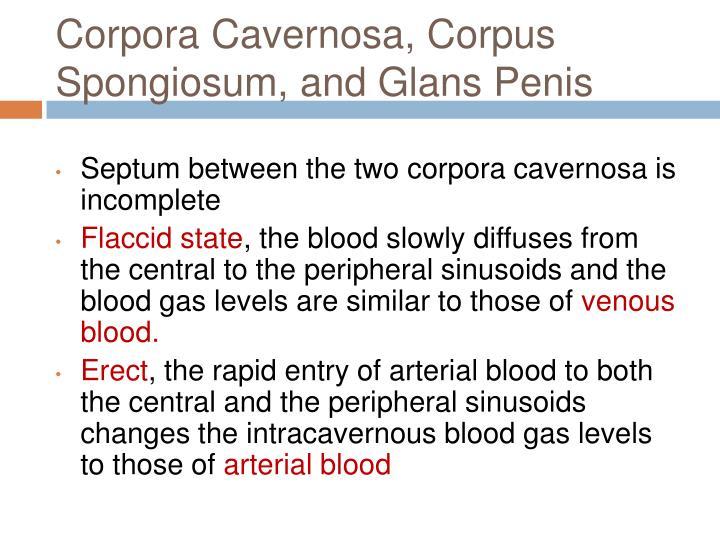 Corpora Cavernosa, Corpus Spongiosum, and Glans Penis