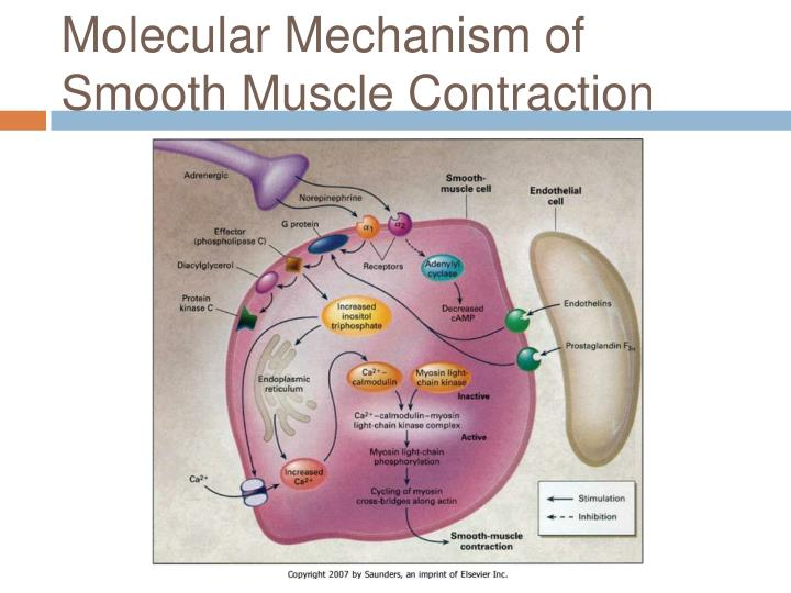 Molecular Mechanism of Smooth Muscle Contraction