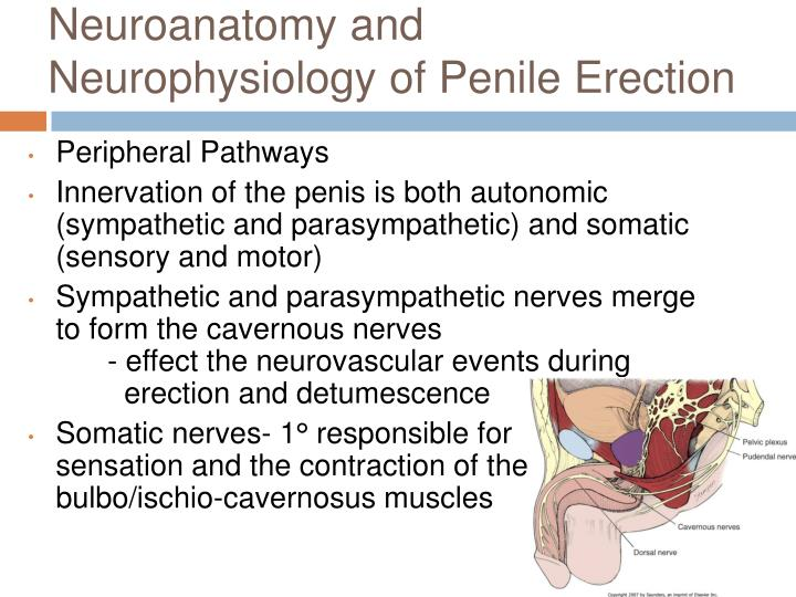 Neuroanatomy and Neurophysiology of Penile Erection