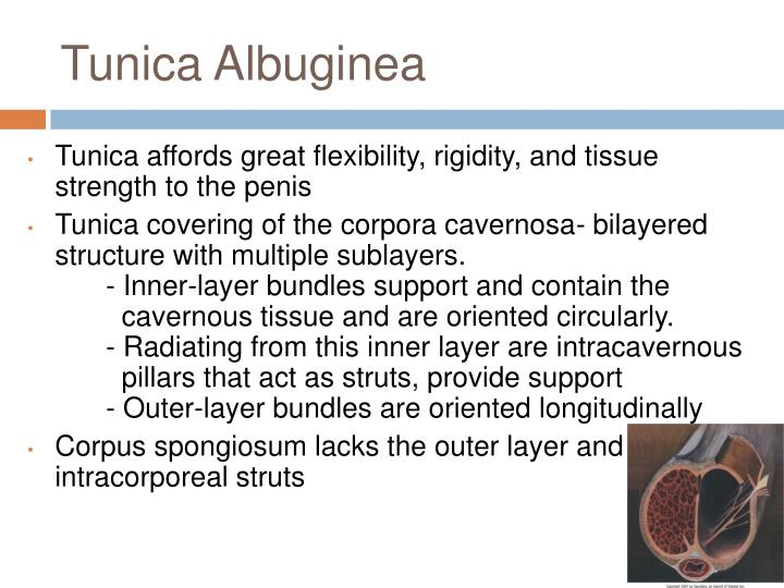 Tunica Albuginea