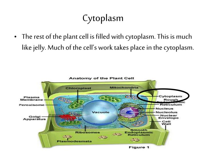 the cytoplasm It is a mixture of organelles and cytosol the gel like liquid is the cytosol all the structures, organelles, suspended in this liquid and the liquid make up the cytoplasm.