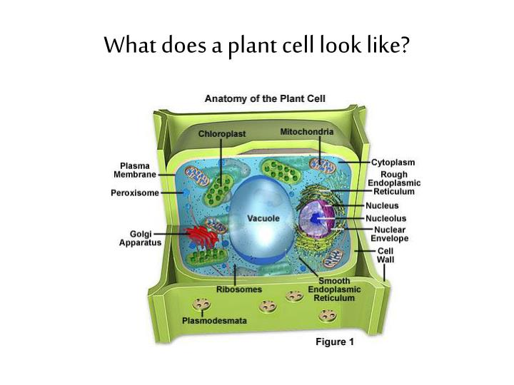 What does a plant cell look like?