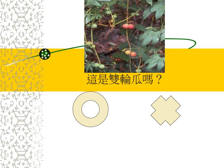 這是雙輪瓜嗎?