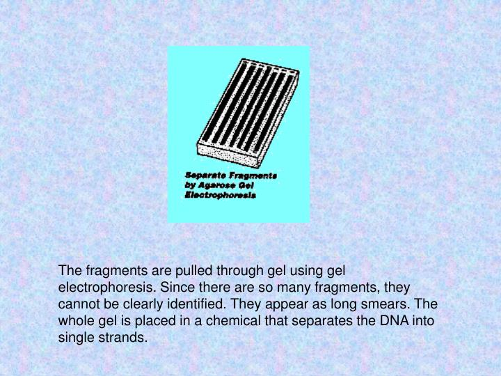 The fragments are pulled through gel using gel electrophoresis. Since there are so many fragments, they cannot be clearly identified. They appear as long smears. The whole gel is placed in a chemical that separates the DNA into single strands.