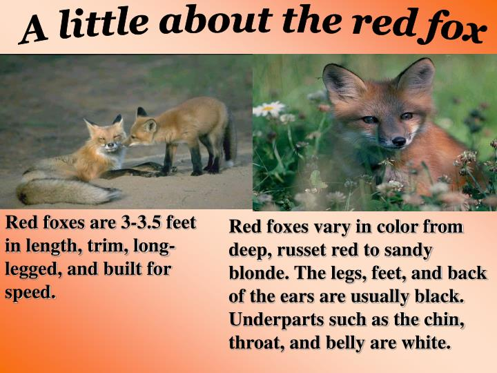 A little about the red fox