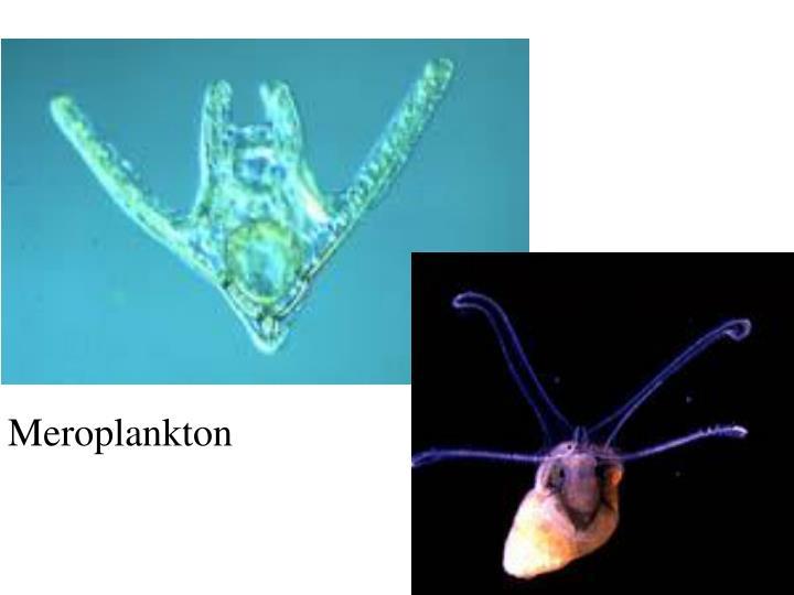 Meroplankton