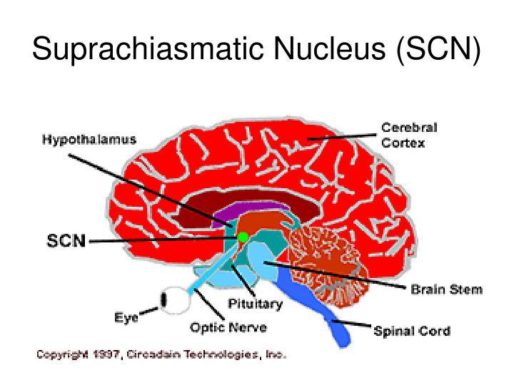 Suprachiasmatic Nucleus (SCN)