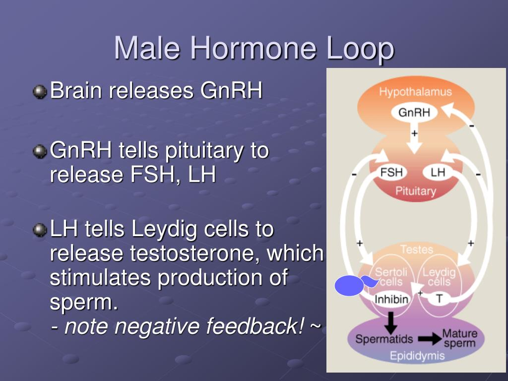Male Hormone Loop