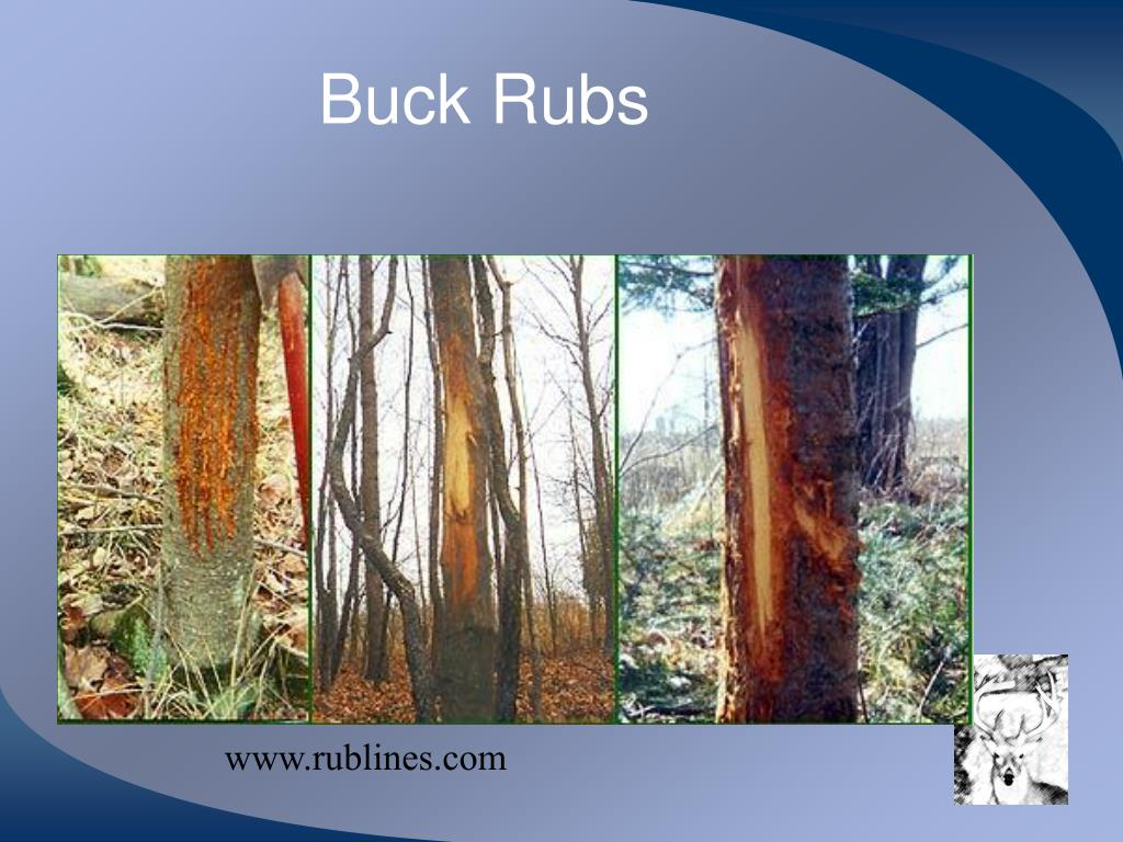 Buck Rubs