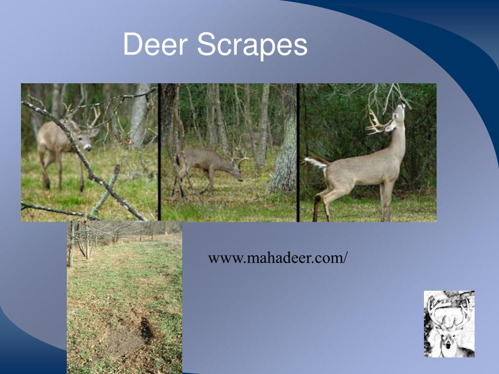 Deer Scrapes