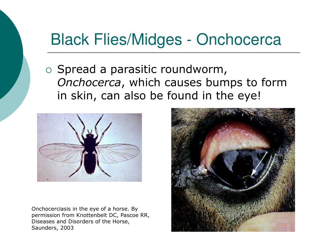 Black Flies/Midges - Onchocerca