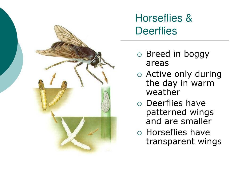 Horseflies & Deerflies