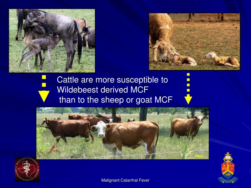 Cattle are more susceptible to