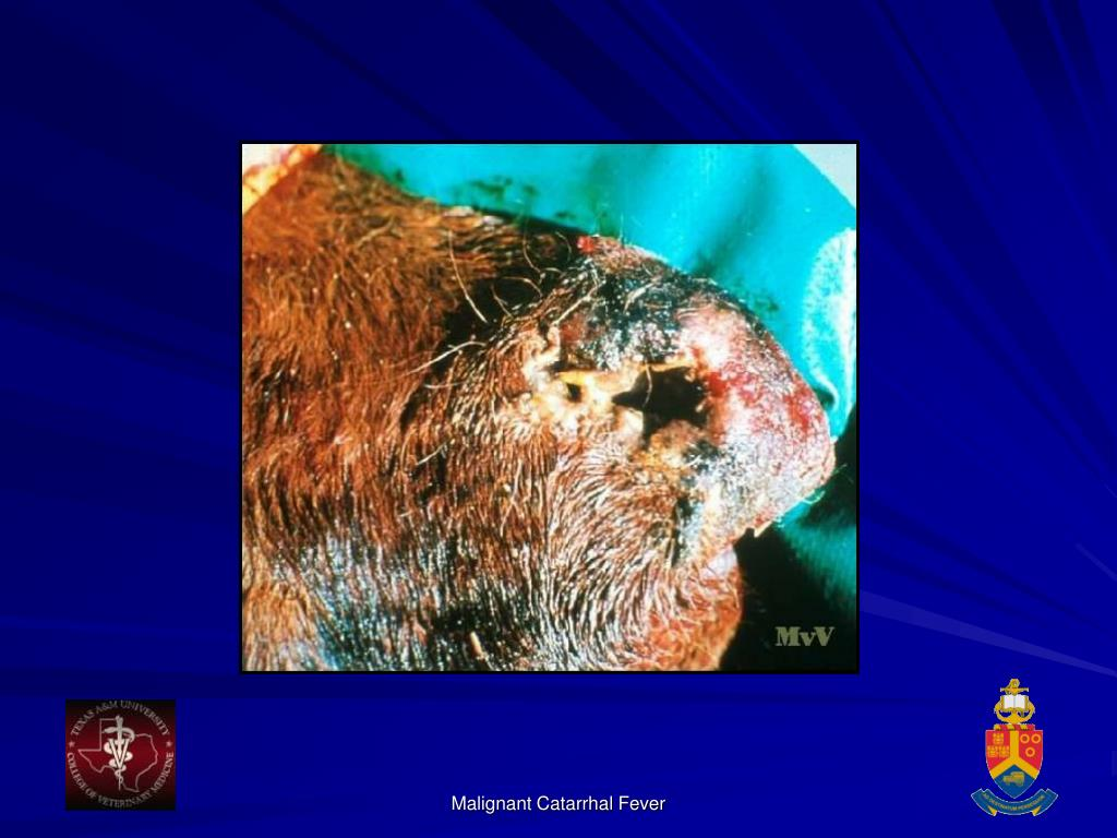 Malignant Catarrhal Fever
