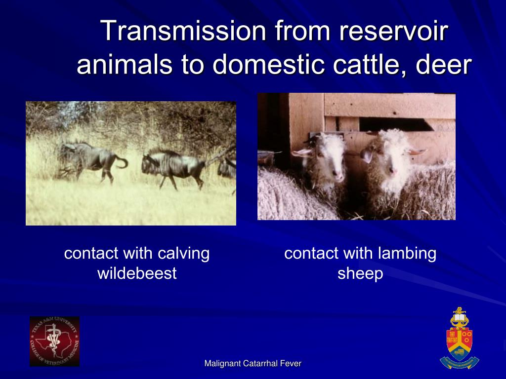 Transmission from reservoir animals to domestic cattle, deer