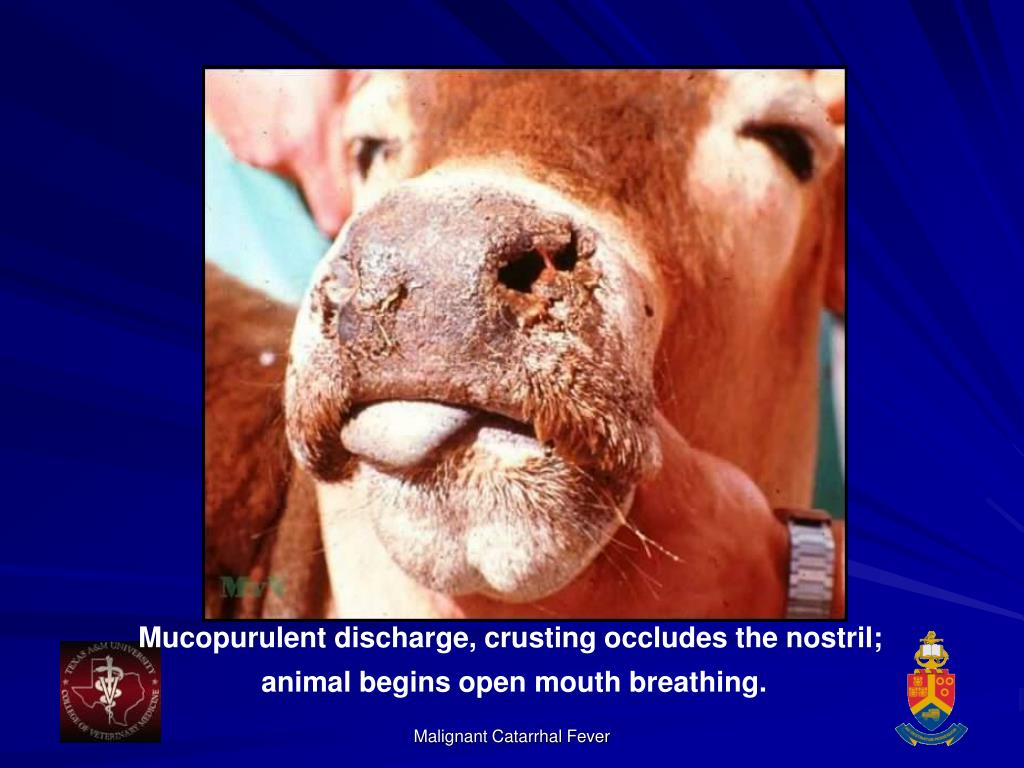 Mucopurulent discharge, crusting occludes the nostril;
