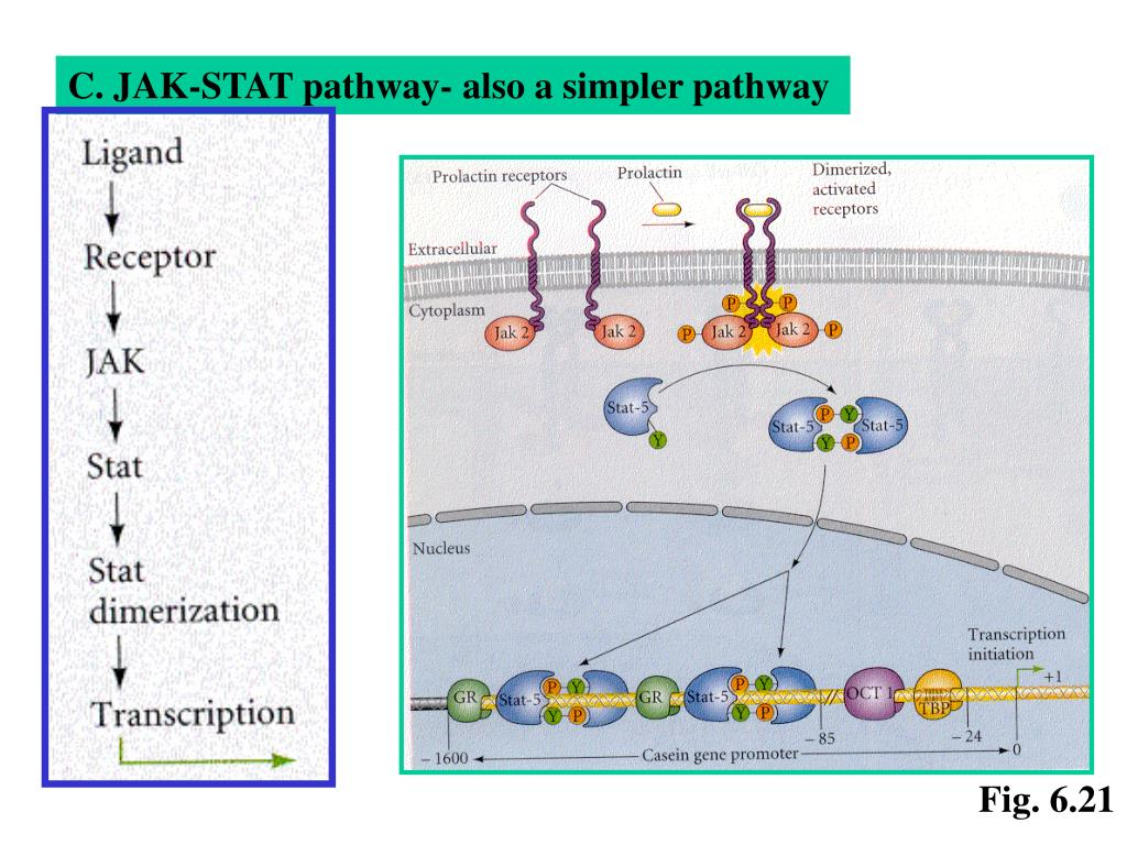 C. JAK-STAT pathway- also a simpler pathway