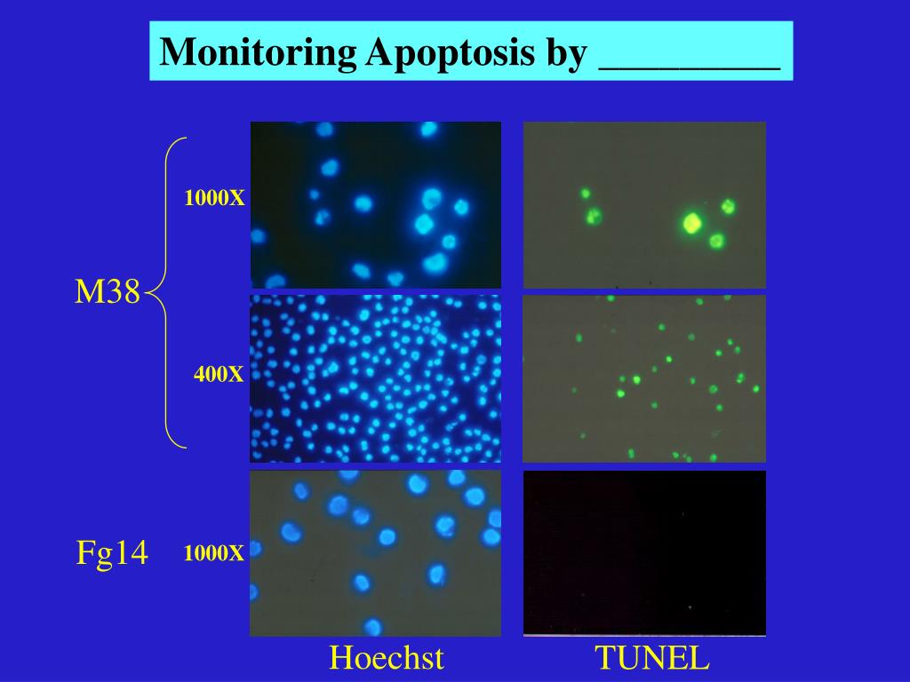 Monitoring Apoptosis by _________