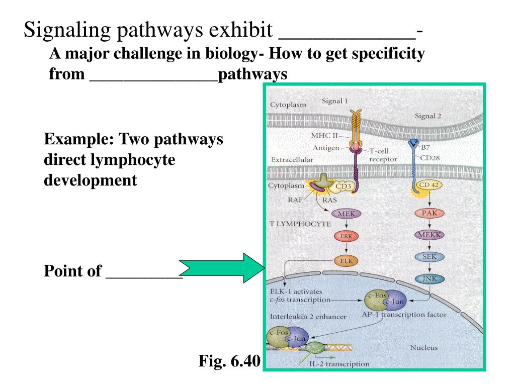 Signaling pathways exhibit ____________-