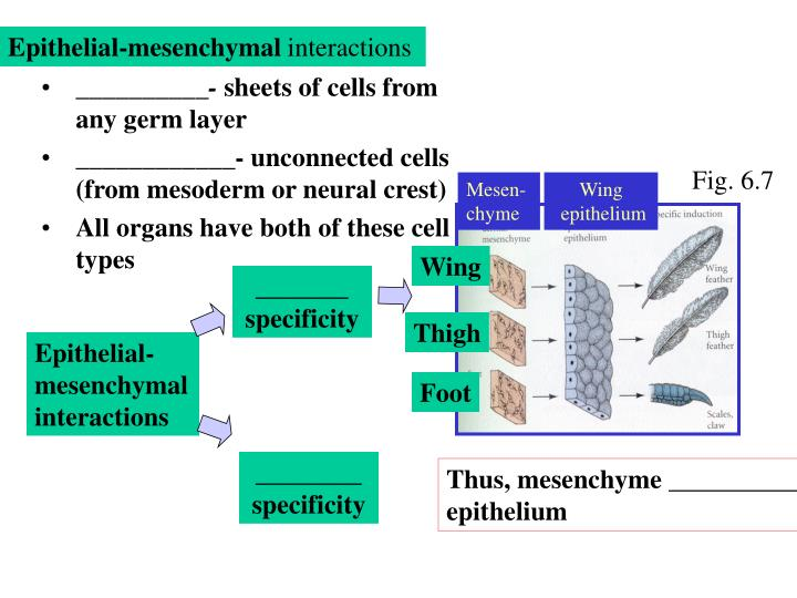 Epithelial-mesenchymal
