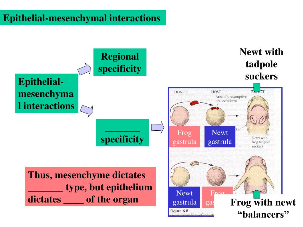 Epithelial-mesenchymal interactions