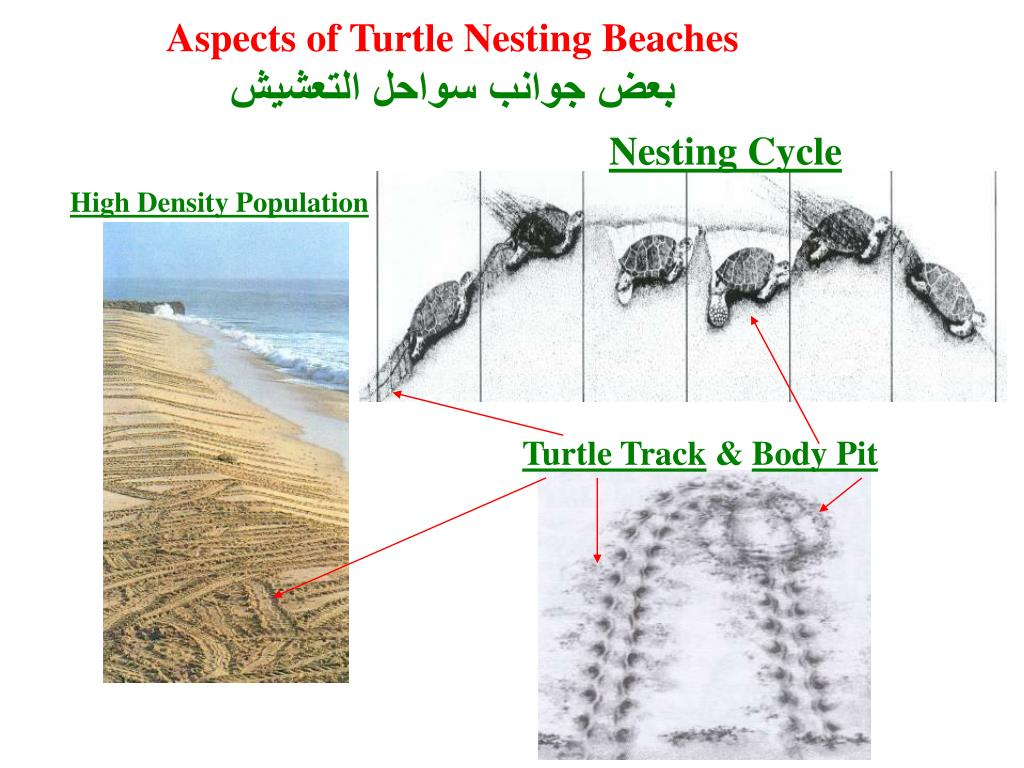 Aspects of Turtle Nesting Beaches