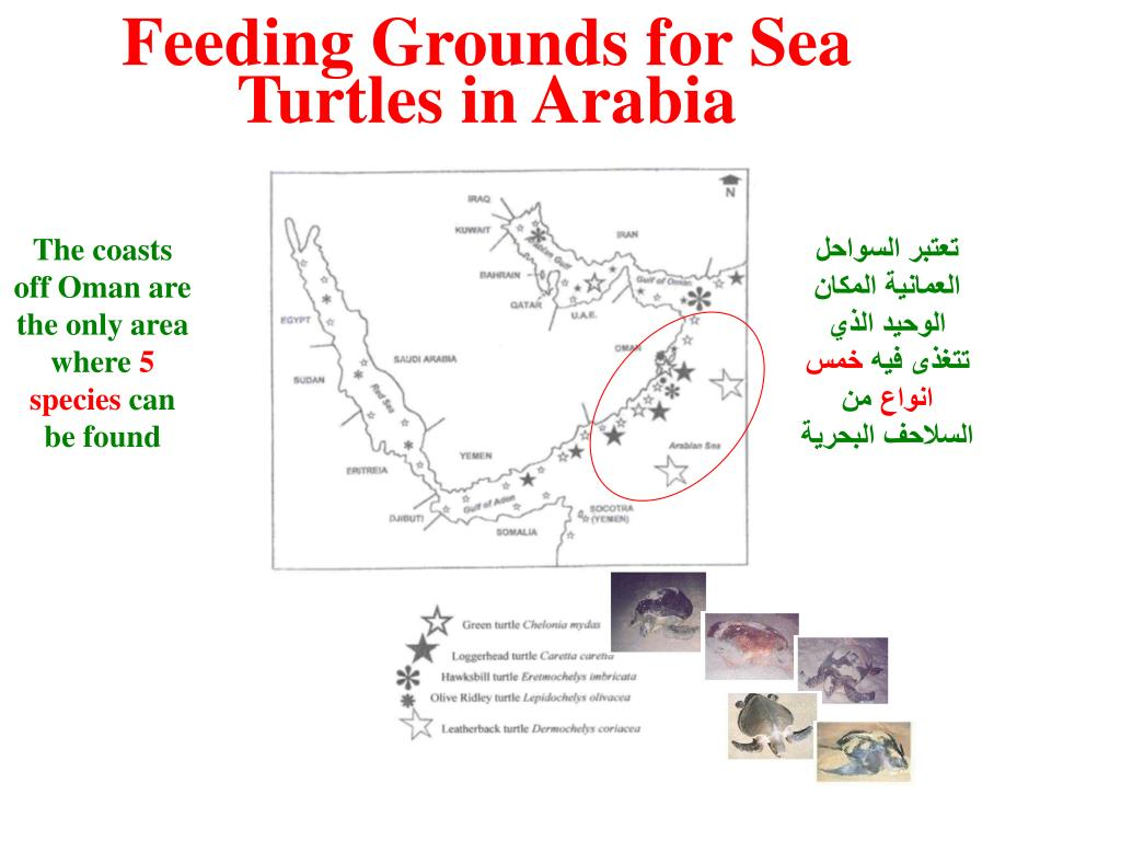 Feeding Grounds for Sea Turtles in Arabia