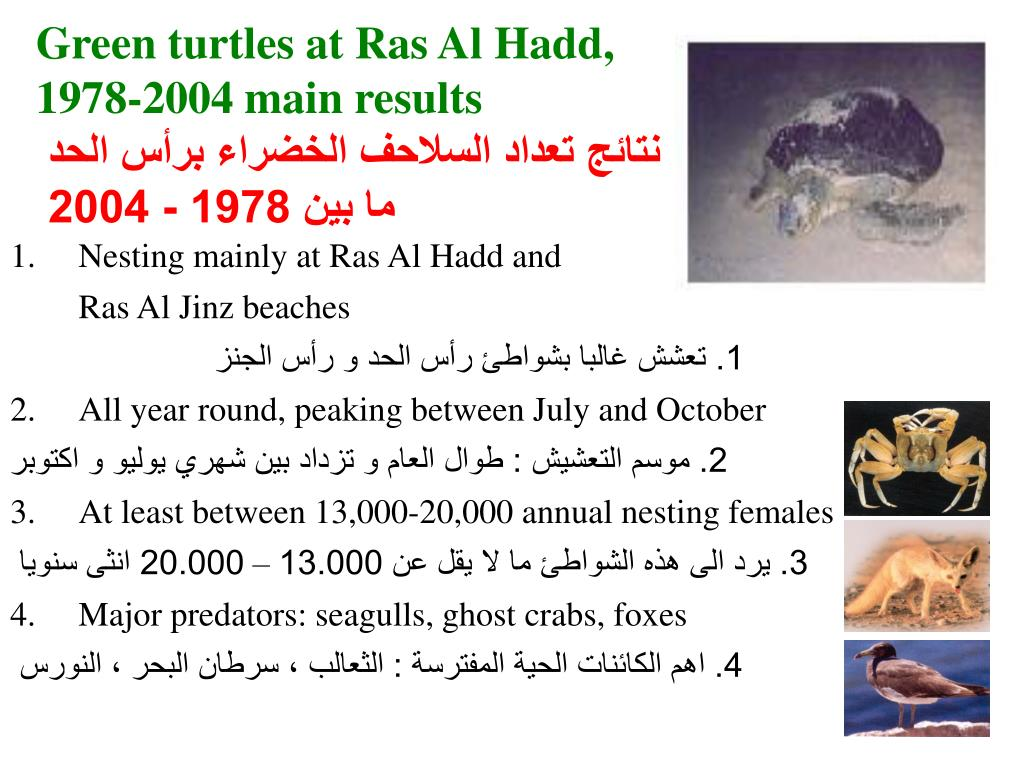 Green turtles at Ras Al Hadd,