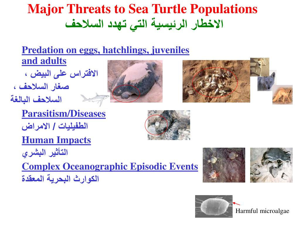 Major Threats to Sea Turtle Populations