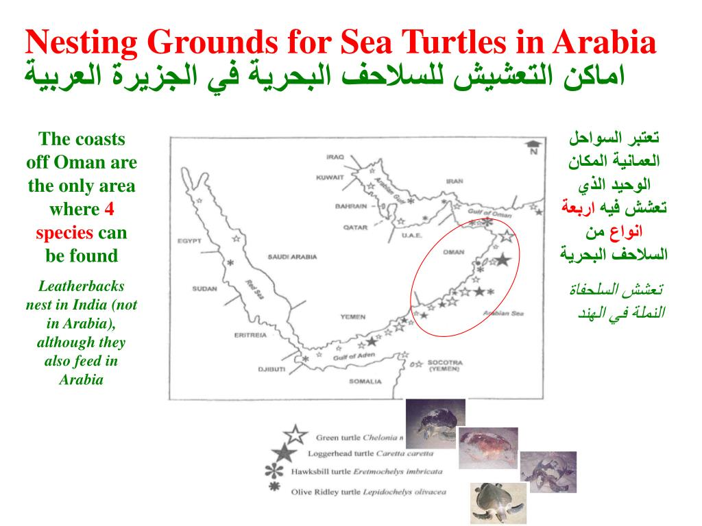 Nesting Grounds for Sea Turtles in Arabia