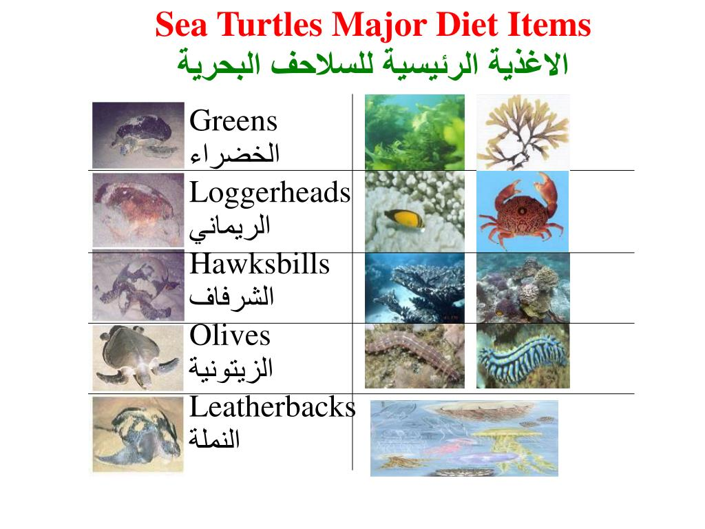 Sea Turtles Major Diet Items