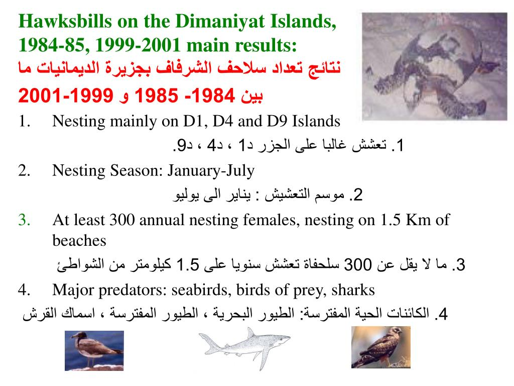 Hawksbills on the Dimaniyat Islands,