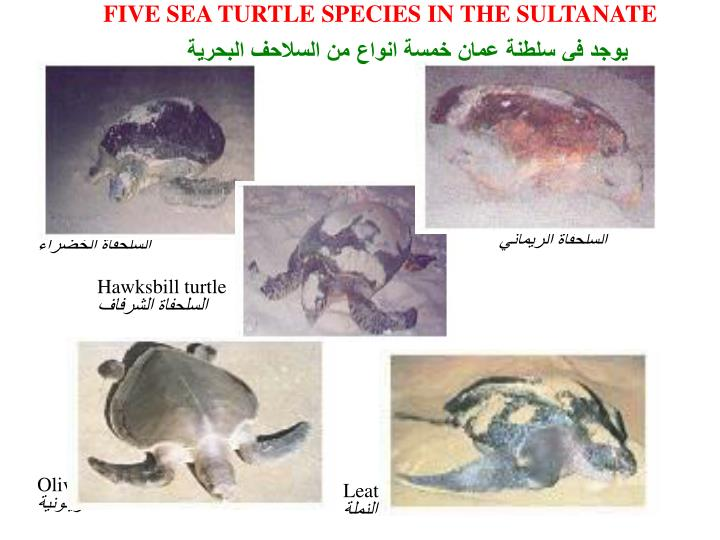 FIVE SEA TURTLE SPECIES IN THE SULTANATE
