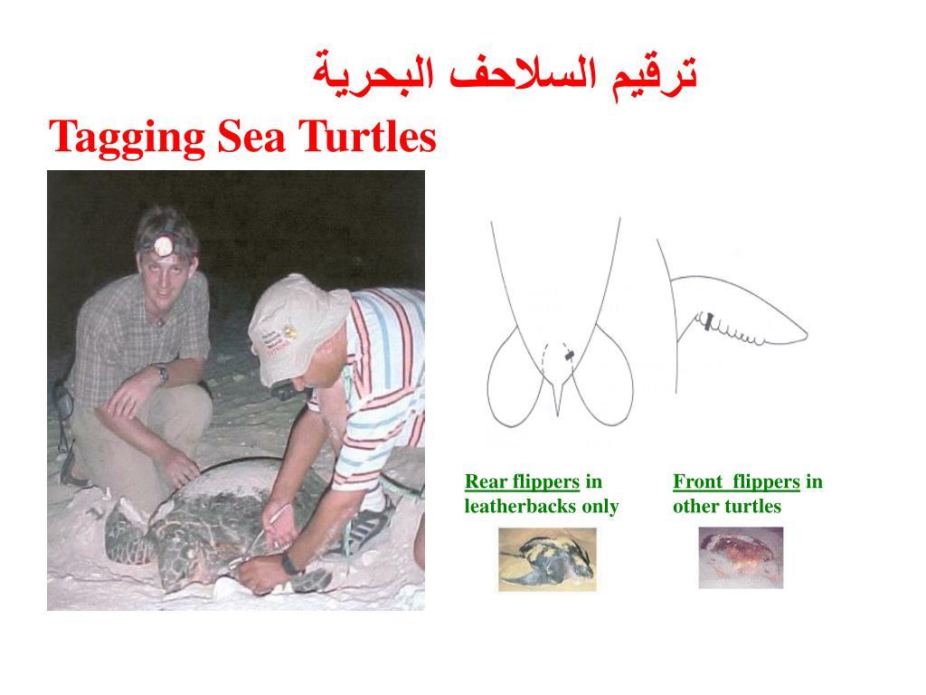 ترقيم السلاحف البحرية