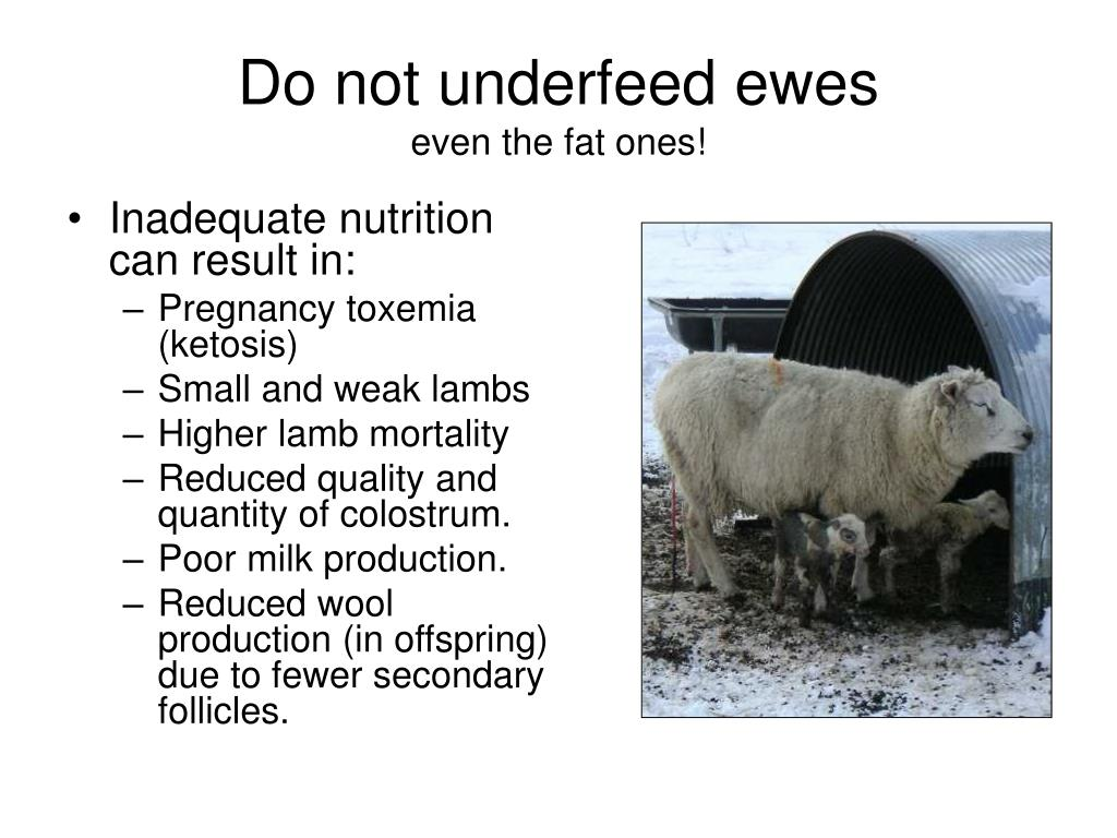 Do not underfeed ewes