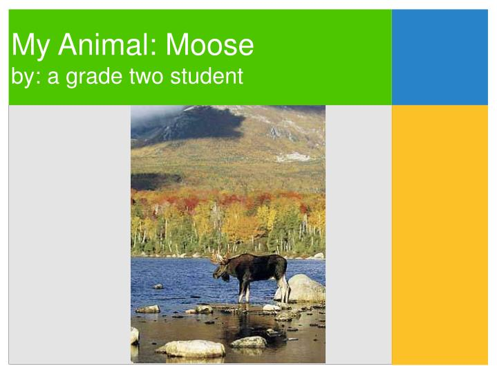 My animal moose by a grade two student