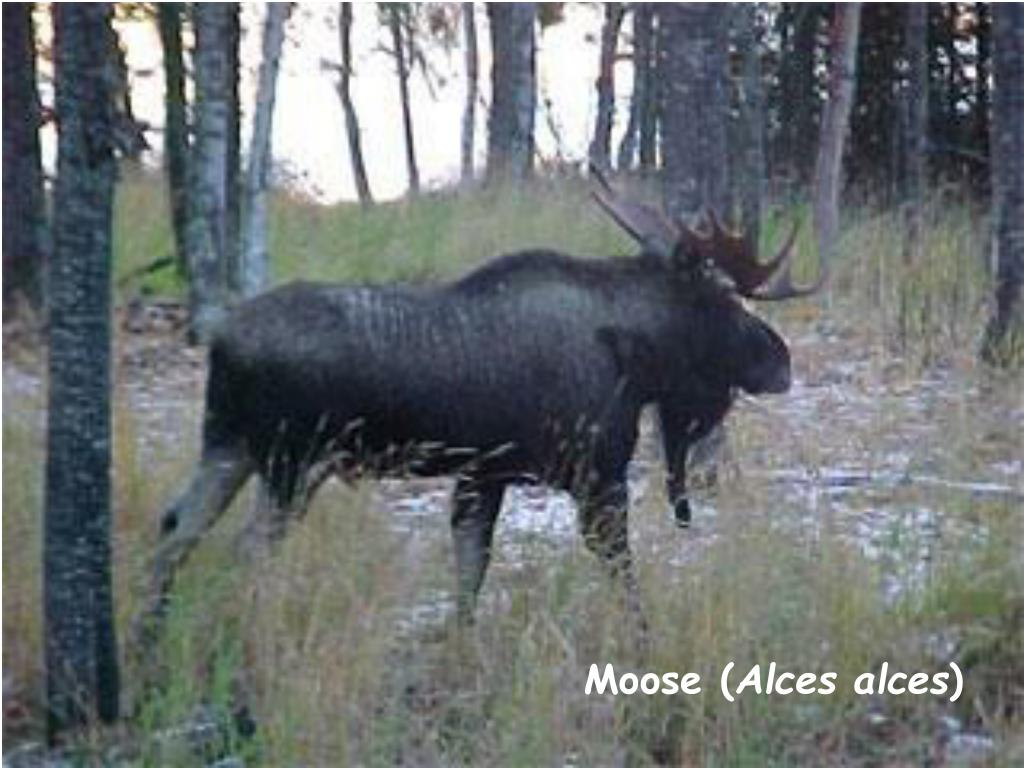 Moose (