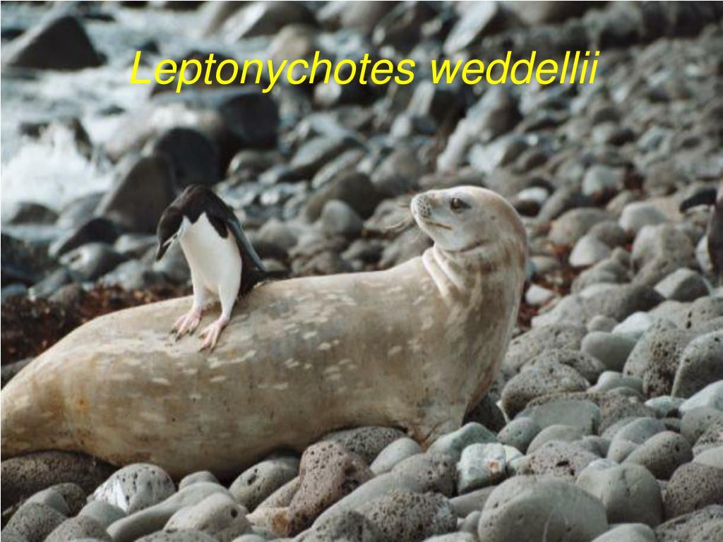 Leptonychotes weddellii