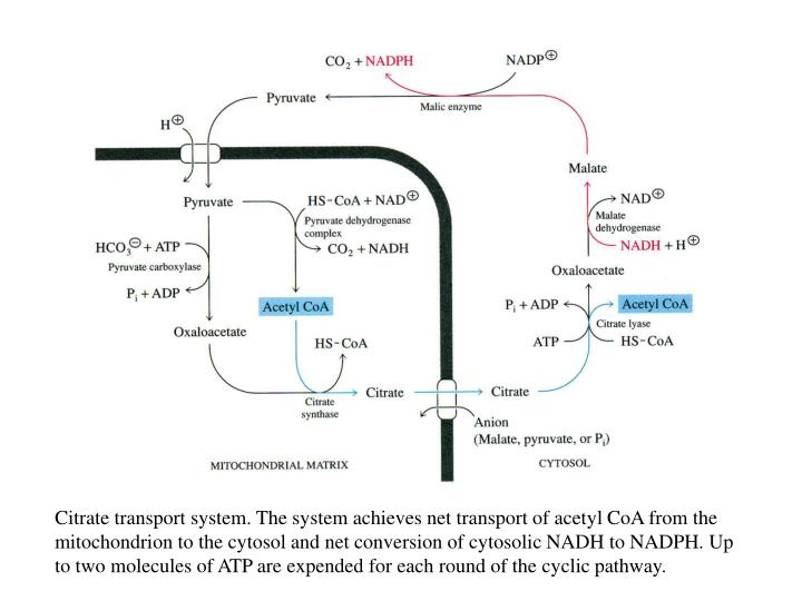 Citrate transport system. The system achieves net transport of acetyl CoA from the mitochondrion to the cytosol and net conversion of cytosolic NADH to NADPH. Up to two molecules of ATP are expended for each round of the cyclic pathway.