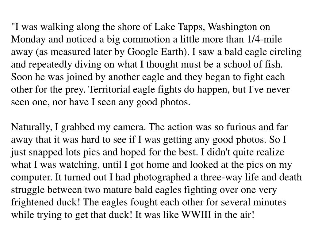 """I was walking along the shore of Lake Tapps, Washington on Monday and noticed a big commotion a little more than 1/4-mile away (as measured later by Google Earth). I saw a bald eagle circling and repeatedly diving on what I thought must be a school of fish. Soon he was joined by another eagle and they began to fight each other for the prey. Territorial eagle fights do happen, but I've never seen one, nor have I seen any good photos."