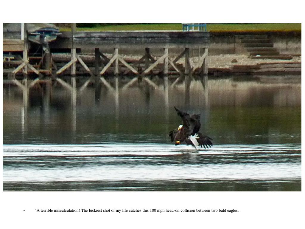 """A terrible miscalculation! The luckiest shot of my life catches this 100 mph head-on collision between two bald eagles."