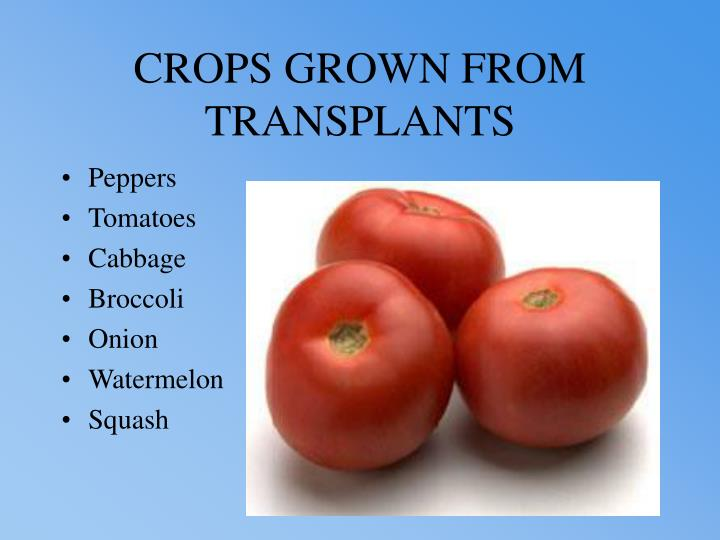 CROPS GROWN FROM TRANSPLANTS