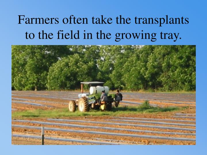 Farmers often take the transplants to the field in the growing tray.
