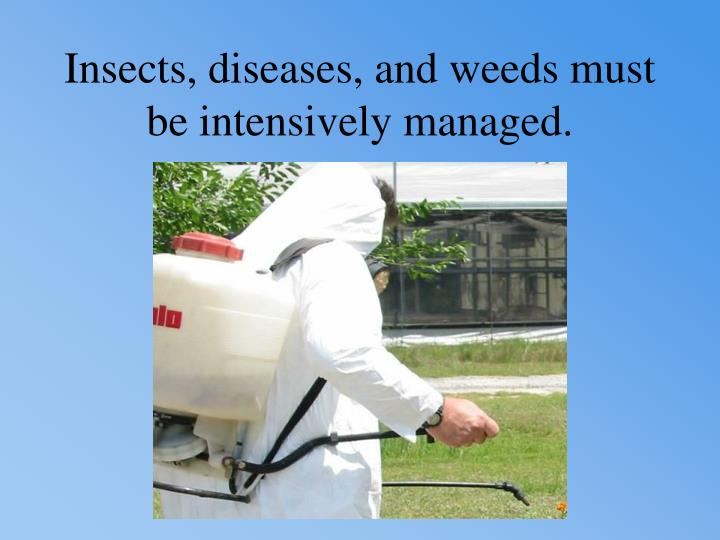 Insects, diseases, and weeds must be intensively managed.
