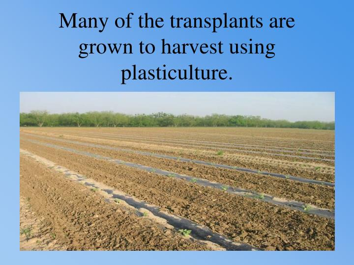 Many of the transplants are grown to harvest using plasticulture.