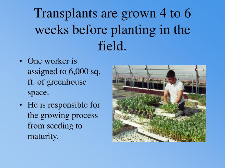 Transplants are grown 4 to 6 weeks before planting in the field.