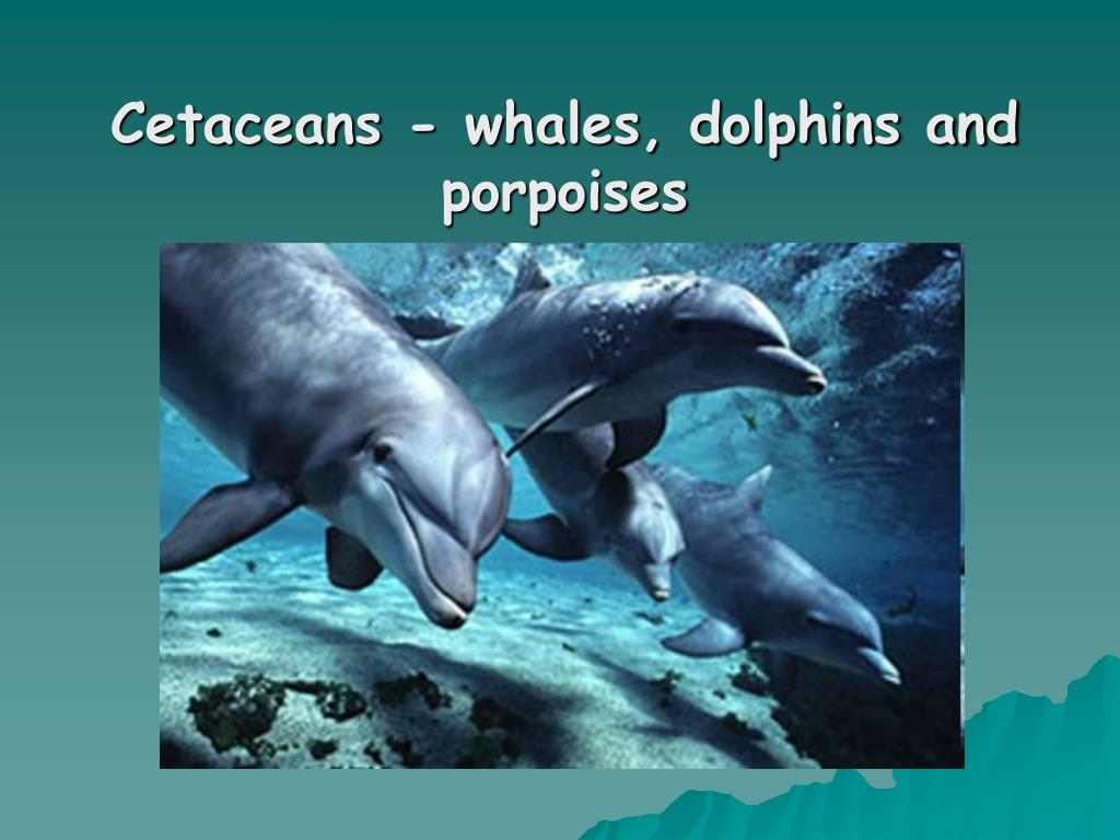 Cetaceans - whales, dolphins and porpoises